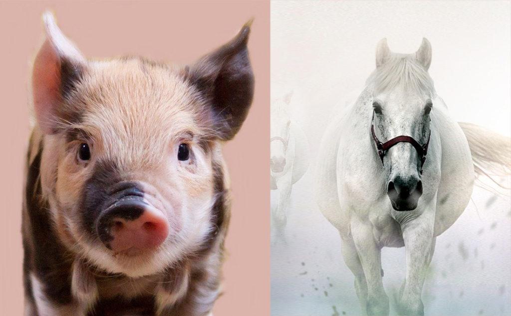 「豚プラセンタ」と「馬プラセンタ」どちらが良いの?徹底比較してみました!